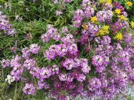 Alyssum Lavender 200 Seeds- Sweetly Scented, Great Cover